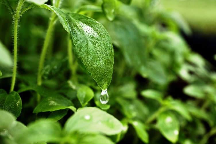 Stevia en la agricultura